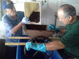 Mike Pigeon pours the de-stemmed Cabernet Sauvignon into the wine press for crushing. The winemaker, John Campanini, provides the muscle.